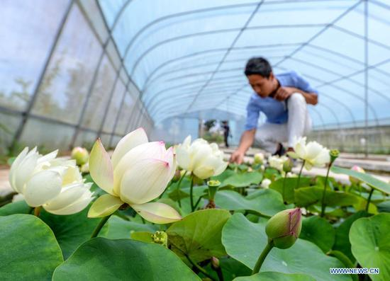 Mini lotus planting industry becomes new way for locals to increase income in N China
