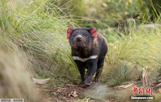 Tasmanian Devils born in wild of Australia for first time in 3,000 years