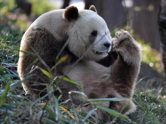 Qizai, a rare brown and white giant panda, is seen at the Qinling research center of giant panda breeding in northwest China's Shaanxi Province, Dec. 4, 2019. The Qinling Mountains, a natural boundary between the country's north and south, are home to a huge variety of plants and wild animals such as giant pandas, golden monkeys, crested ibis and takins. (Xinhua/Zhang Bowen)