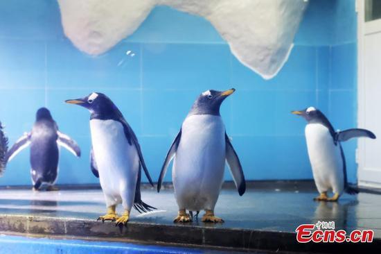 Four Gentoo penguins join Nanjing Underwater World