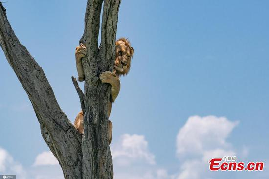 Lion clings to tree to dodge buffaloes' siege
