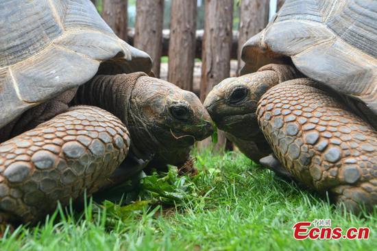 Two Aldabra giant tortoises debut in Kunming