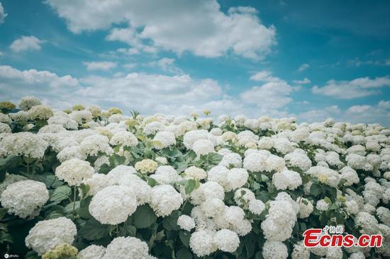 Hydrangea blooms in Yunnan in early summer