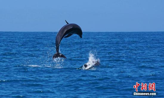 Over 200 Indo-Pacific bottlenose dolphins appear in Shantou for first time