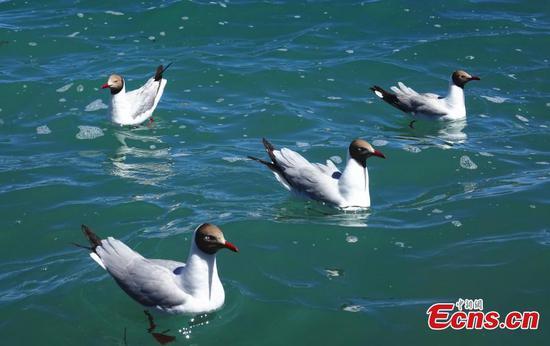 Brown-headed gulls enjoy summertime at Pangong Tso Lake in China's Tibet