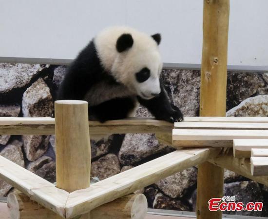 Cute panda cub born in Japan plays outside