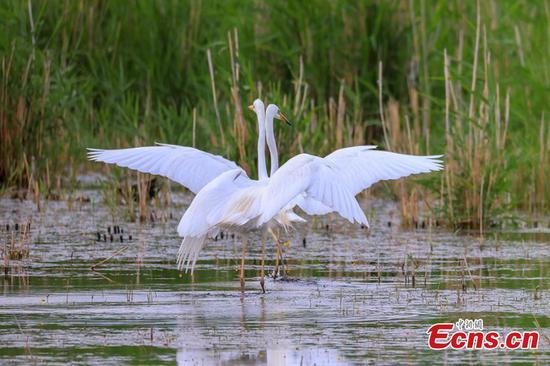 Little egrets frolic on Bosten Lake in China's Xinjiang