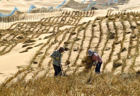 Photo d'archive prise le 7 septembre 2020 montrant des travailleurs de la lutte contre la désertification fabriquant des barrières en damier de paille dans le désert de Tengger le long du chantier de construction de la section Qingtongxia-Zhongwei de l'autoroute Wuhai-Maqin dans la région autonome du Ningxia Hui, dans le nord-ouest de la Chine. (Xinhua/Feng Kaihua)
