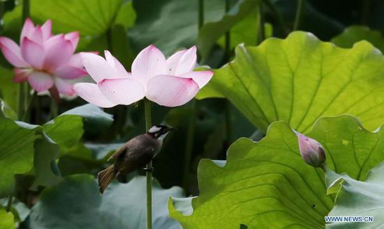 Lotus flowers seen across China