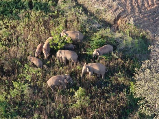Migrating elephant herd returns to Yimen in Yunnan