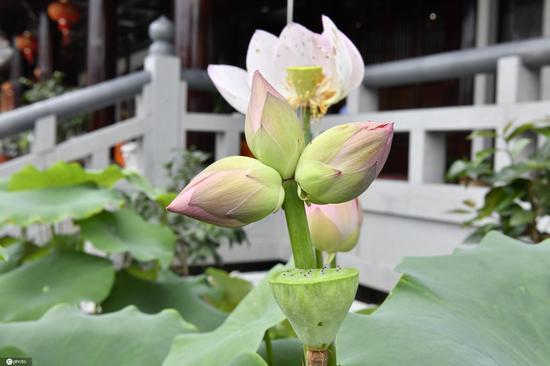 Triplet lotus flowers found in Zhejiang