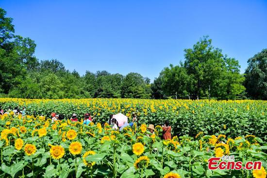 Sunflowers at Beijing Olympic Forest Park attracts visitors