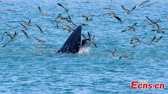 Bryde's whale preys at Mirs Bay in Shenzhen