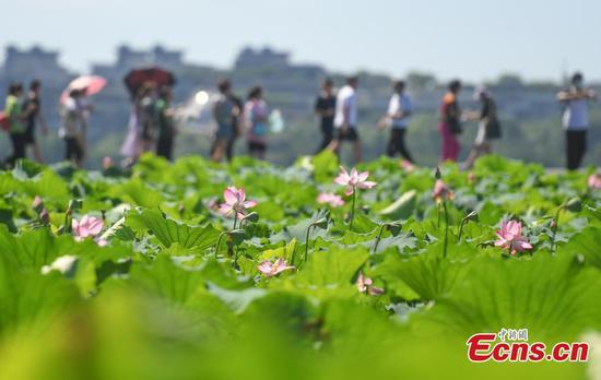 Blooming lotus flowers adorn West Lake on summertime