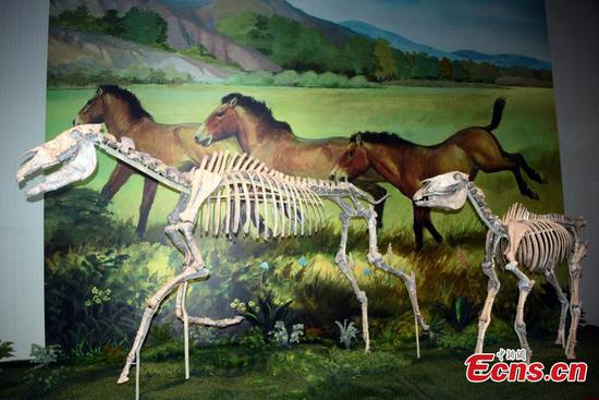 Treasures collected in Gansu's Hezheng paleozoological museum