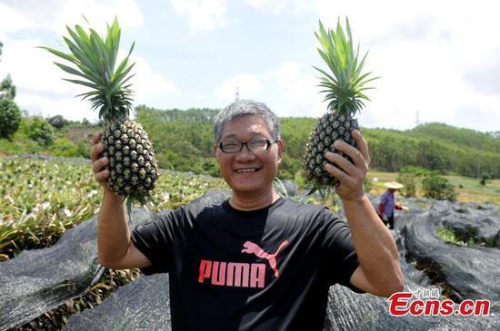 Taiwanese farmers reap home-bred pineapples in Fujian