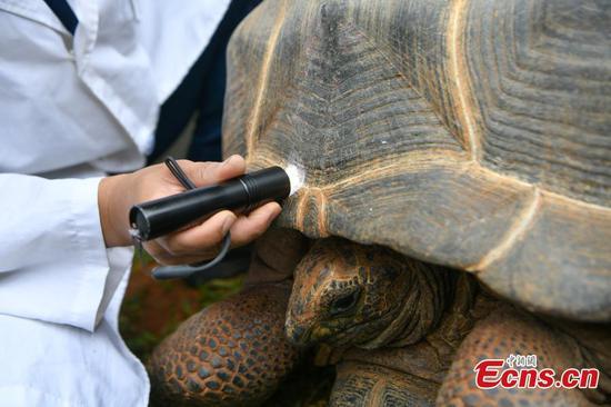 Aldabra giant tortoise undergoes physical examination in Kunming