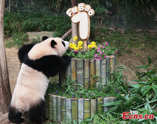 First giant panda born in South Korea celebrates 1st birthday