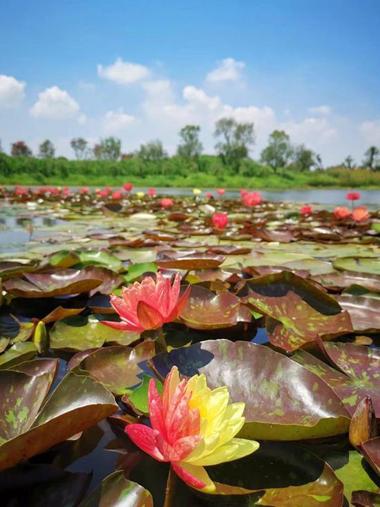 Water lilies bloom in Nantong