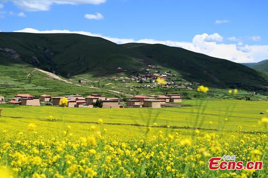 Rape flowers growing in plateau attract visitors