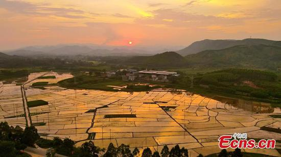 Rice fields in Guangxi look colorful in sunset light