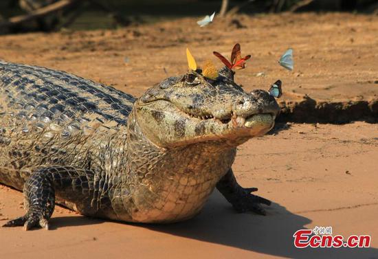 Butterflies swarm around caiman in Brazil