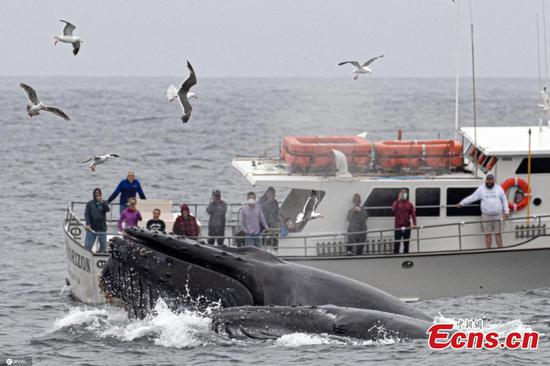 Humpbacks jump out of water for food