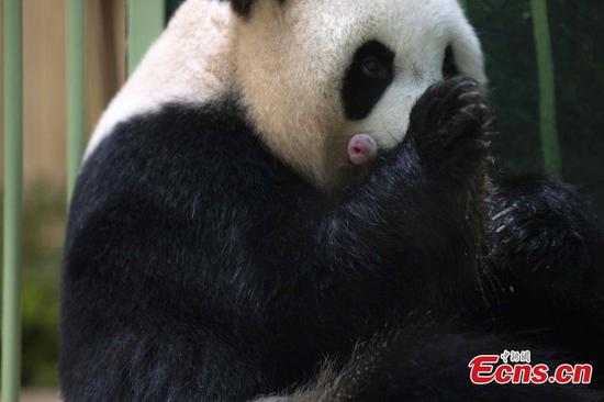 Giant panda Huan Huan gives birth to female twins in France