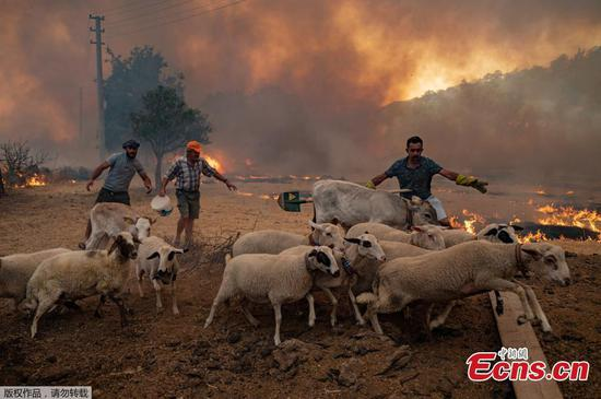 Locals in Turkey escape advancing wildfires with their sheep