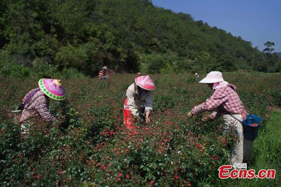 Rose farmers make fortune in Yunnan
