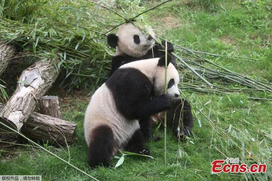 Giant panda twins celebrate 2-year birthday at Belgium zoo