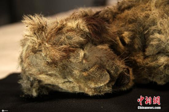 Well-preserved lion cub remains dating back to Ice Age found in Siberia