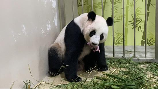 1st giant panda born in Singapore with help of Chinese experts
