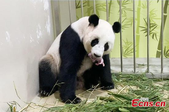 Singapore welcomes its first giant panda cub
