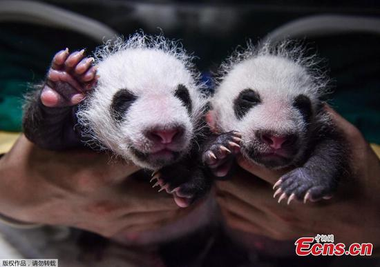 Two pairs of giant panda twins celebrate their one-month birthdays in Sichuan