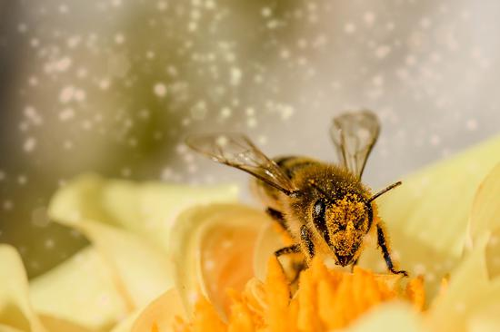 Aussie scientists find angry bees' venom more potent for medical treatment