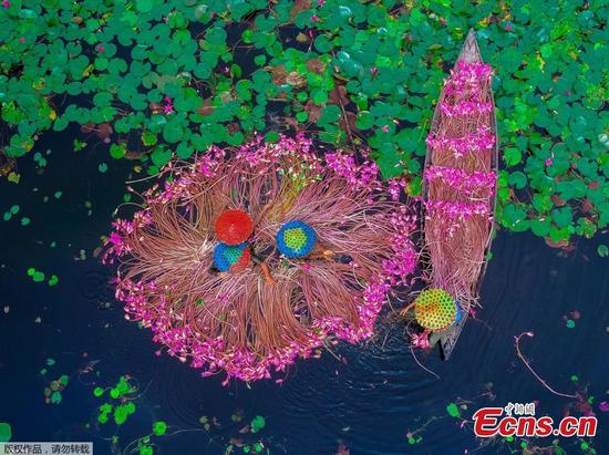Water lily harvest in Bangladesh