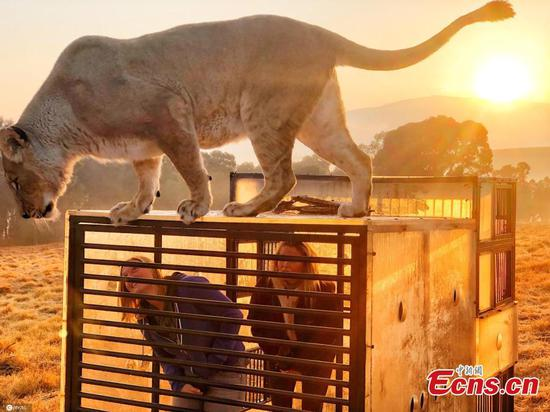 South Africa zoo locks visitors in cages for lions' viewing pleasure