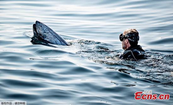 Bluefin Tuna reappears in Danish sea area
