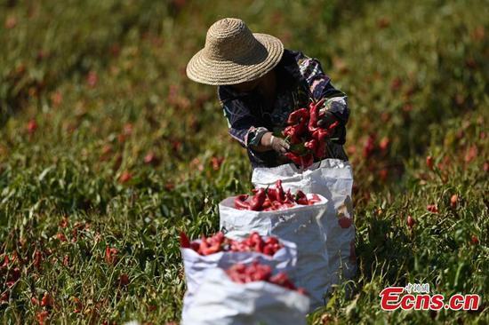Chili peppers grown China's Xinjiang welcome drying season