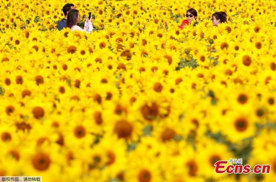 Sunflowers bloom at farm in Britain