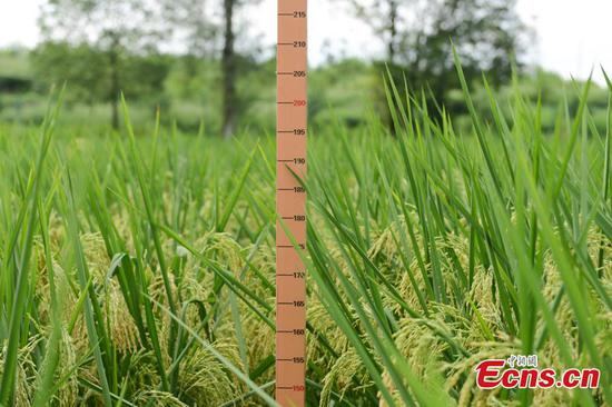 China successfully cultivates 2-meter-high 'giant rice' in Chongqing