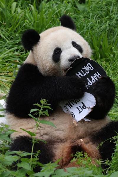 Giant panda twins celebrate 2nd birthday at Berlin Zoo