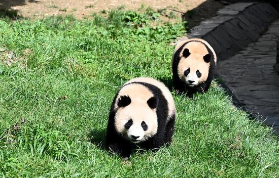 Giant pandas enjoy early autumn at Shenshuping Base