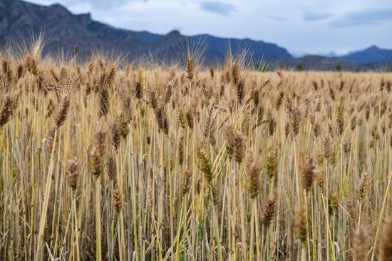 Highland barley harvest season comes in China's Xizang