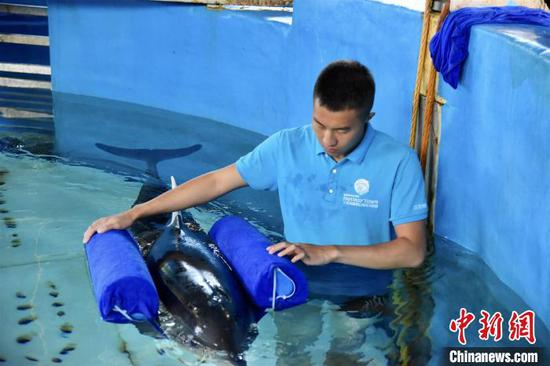 A staff member of Sanya Haichang Biological Conservation Center shows  a specially-made device for an injured dolphin. (Photo provided to China News Service)