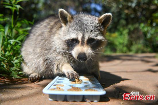 Yunnan Safari Park treats animals with special mooncakes