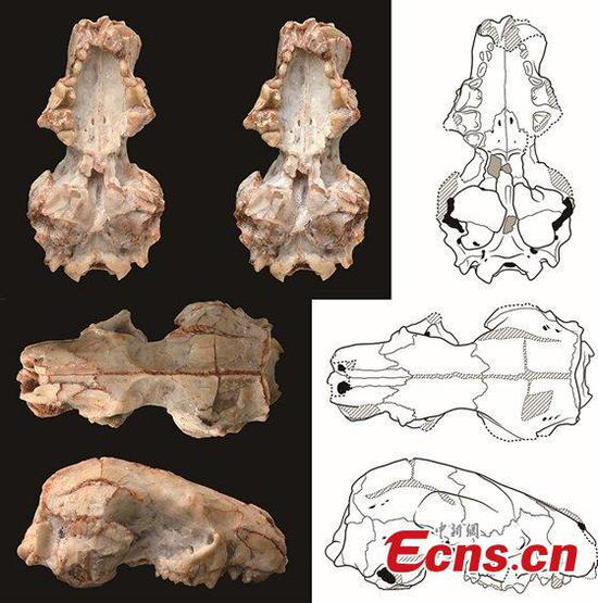 Chinese scientists discover ancient short-faced hedgehogs fossils of 20 mln years ago