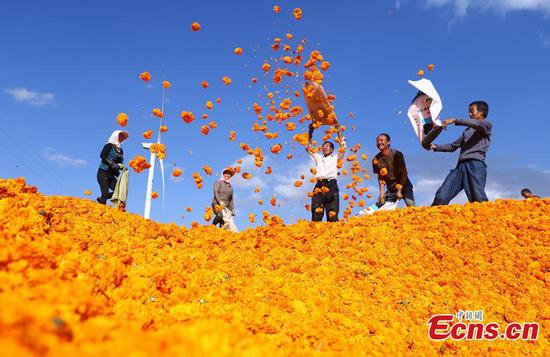 Local farmers harvest marigold flowers in NW China's Gansu