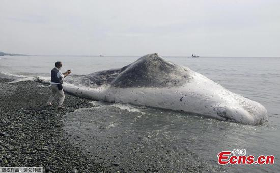 Carcass of sperm whale washes up in Japan's Kanagawa